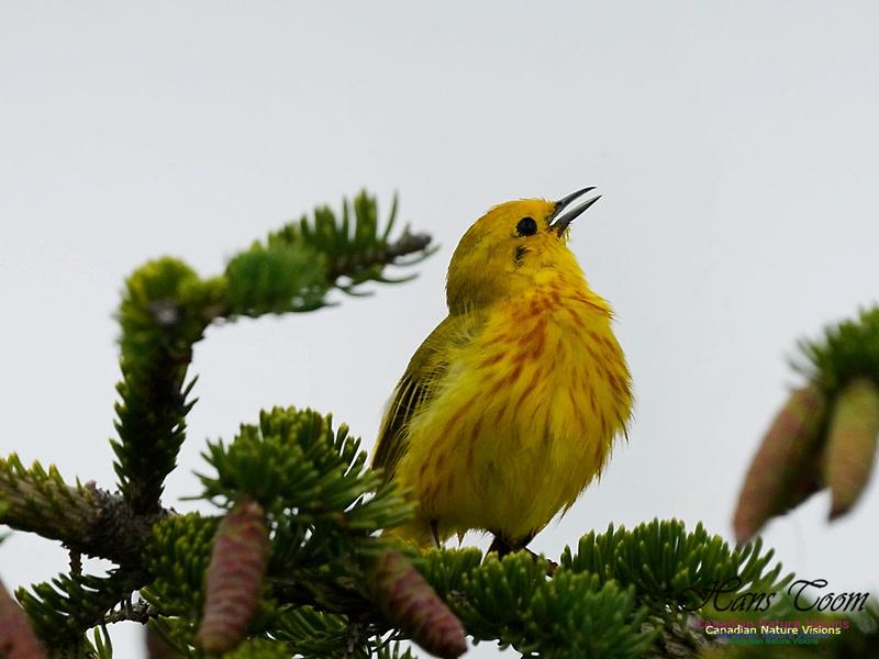 Yellow Warbler 100