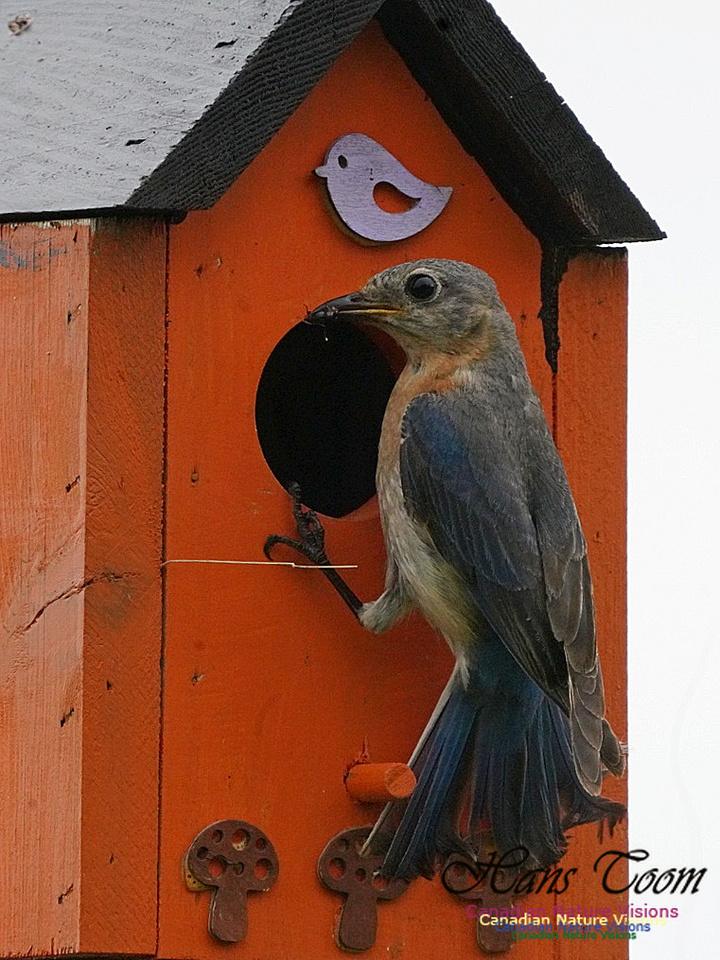 Eastern Bluebird 200