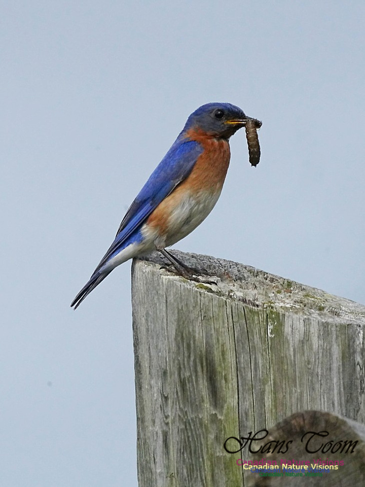 Eastern Bluebird 202