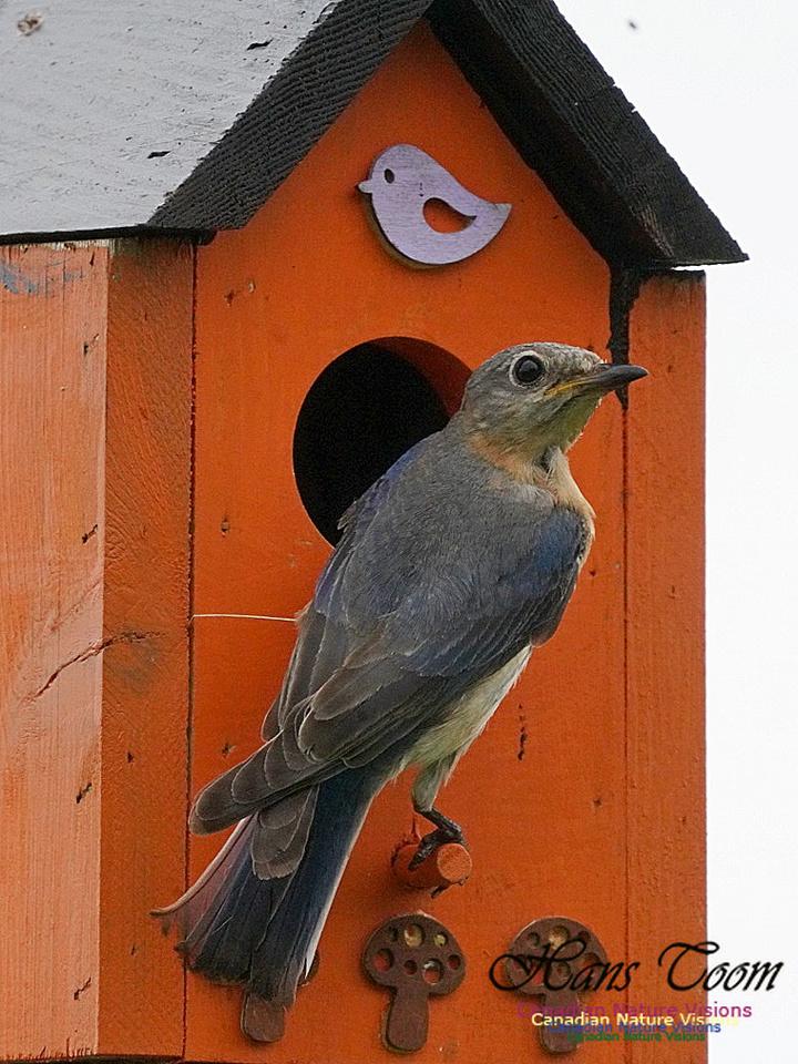Eastern Bluebird 201