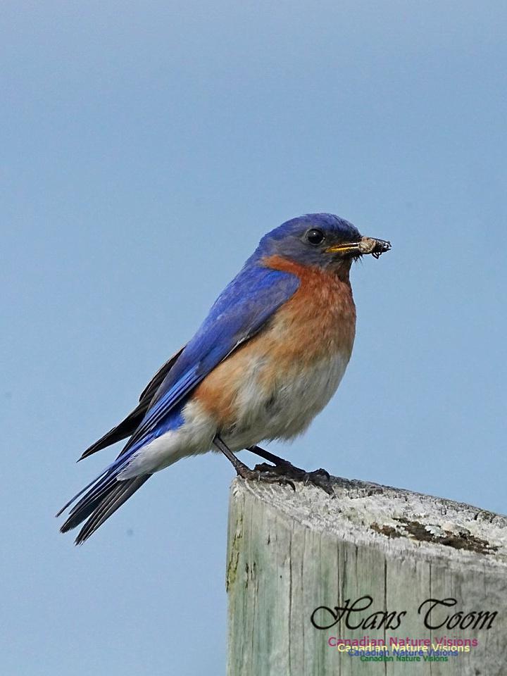 Eastern Bluebird 206