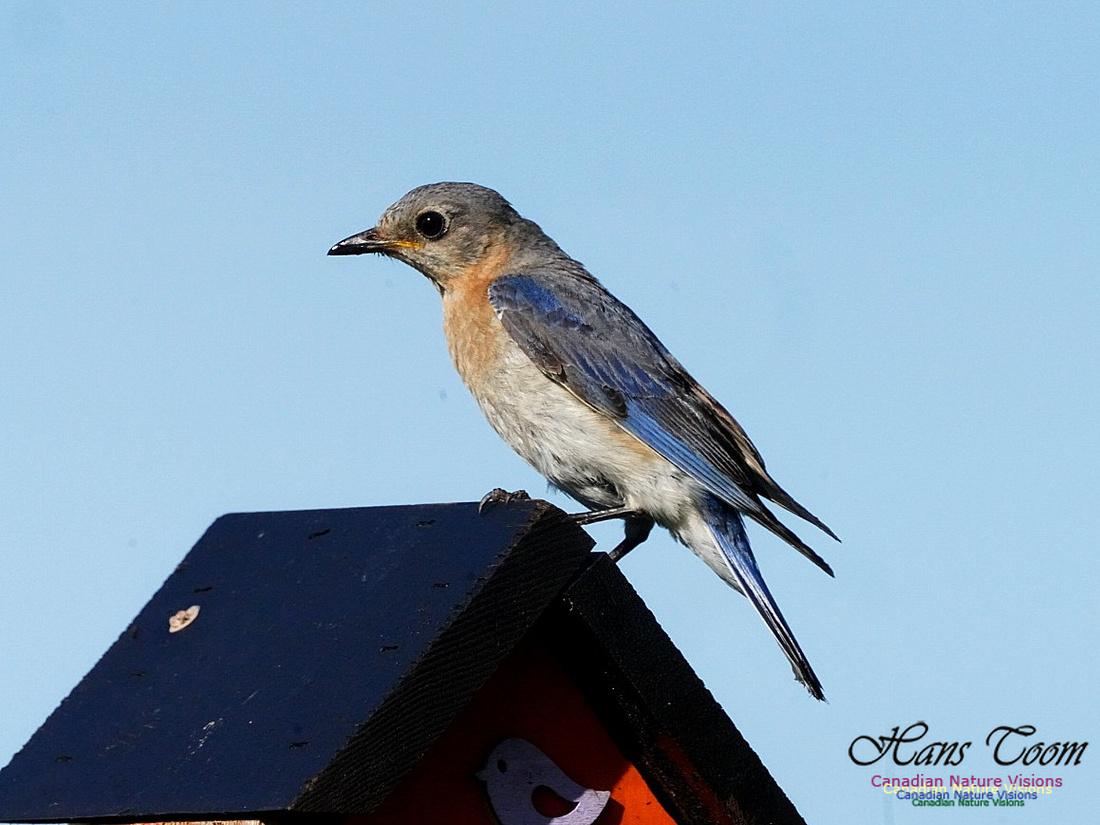 Eastern Bluebird 303