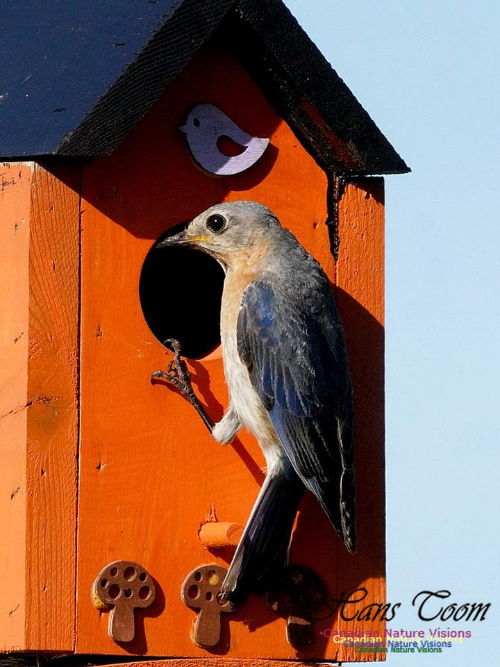 Eastern Bluebird 302