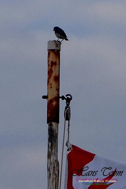 Eastern Bluebird and Canada's Flag 101