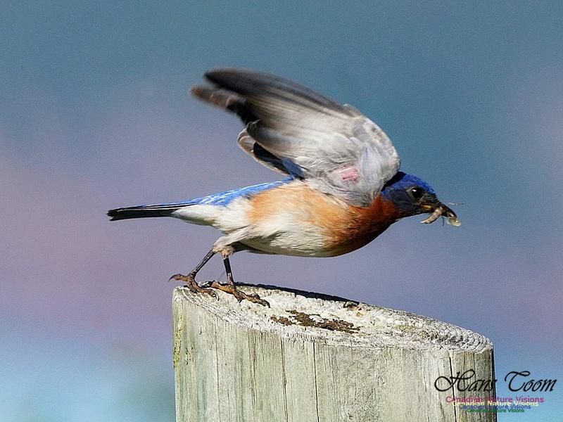 Eastern Bluebird 306
