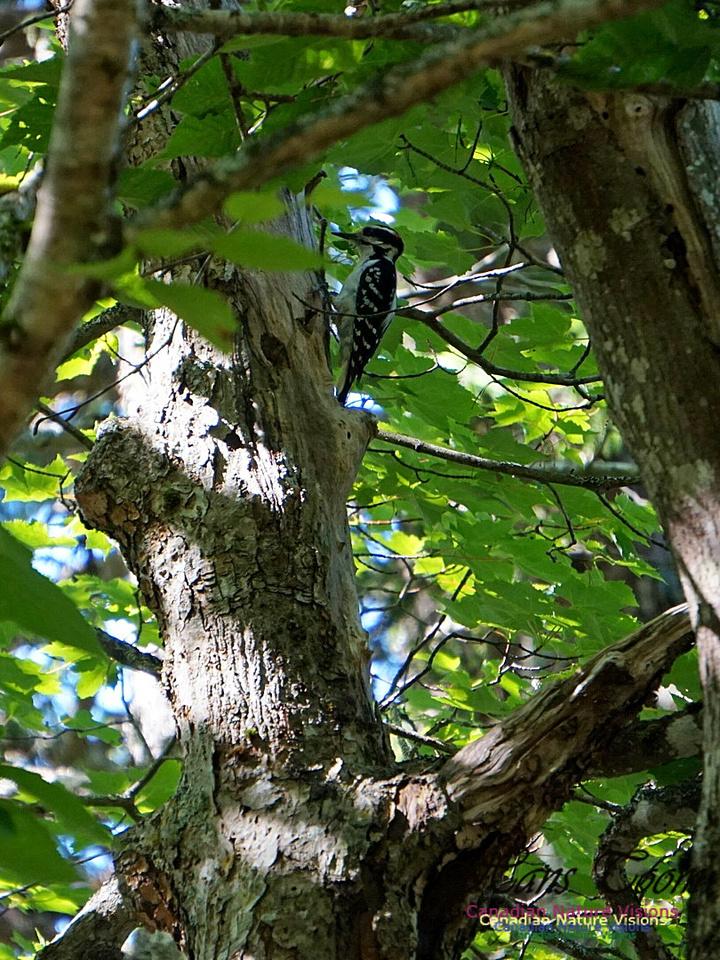 Hairy Woodpecker 100