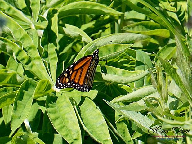 Monarch Butterfly 100