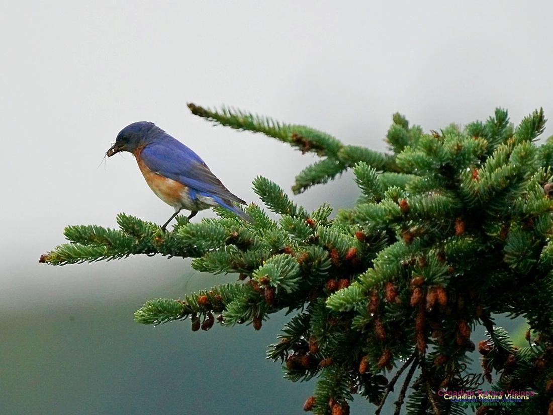 Eastern Bluebird 504