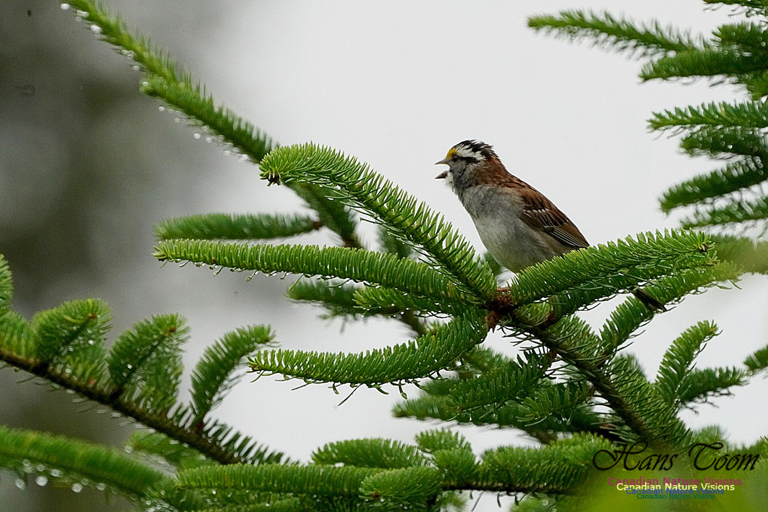 White-throated Sparrow 100