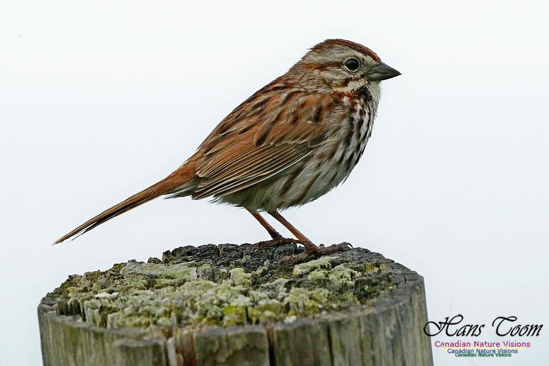 Song Sparrow 300