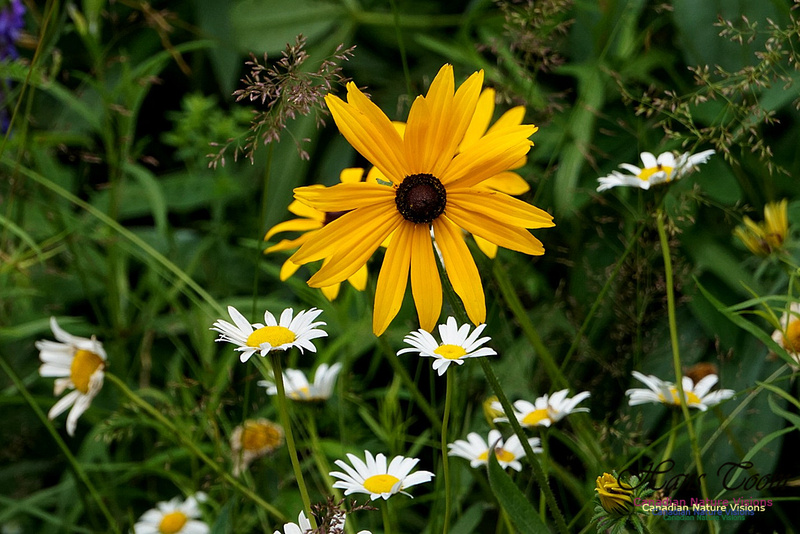 Brown-eyed Susan and Daisy 100