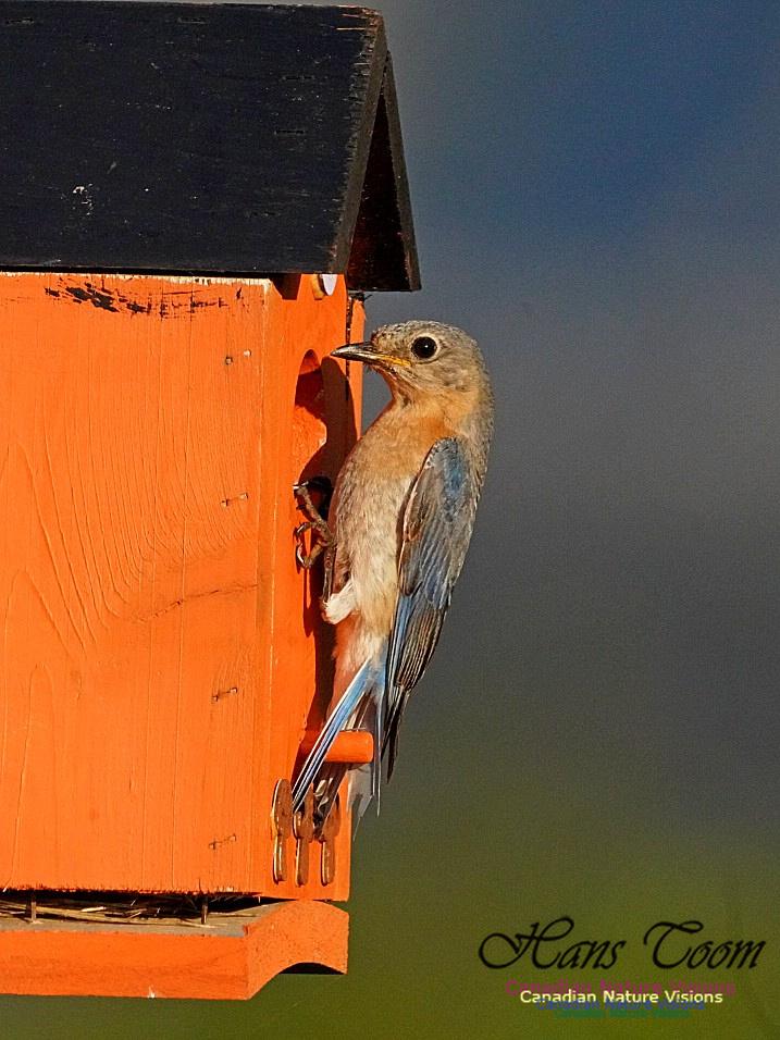 Eastern Bluebird 801