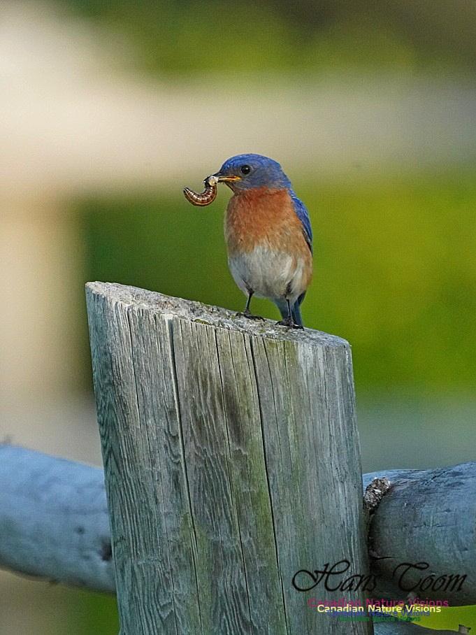 Eastern Bluebird 802