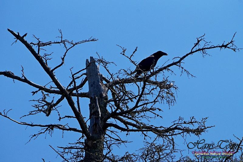 Raven 300