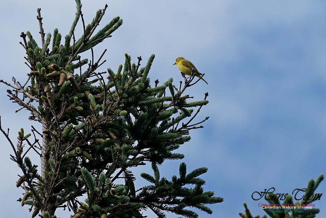 Yellow Warbler 300