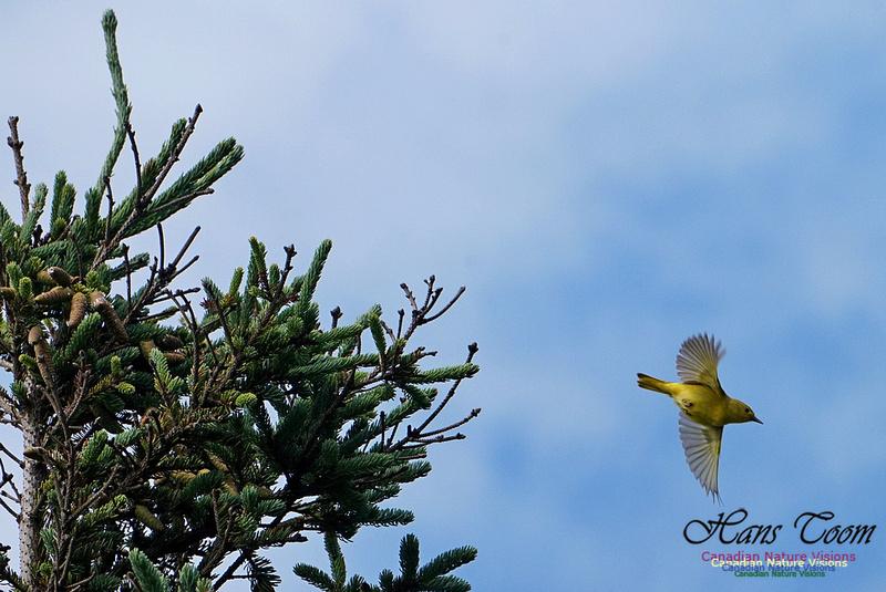 Yellow Warbler 301