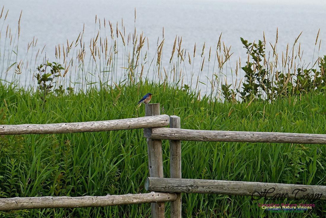 Eastern Bluebird 902