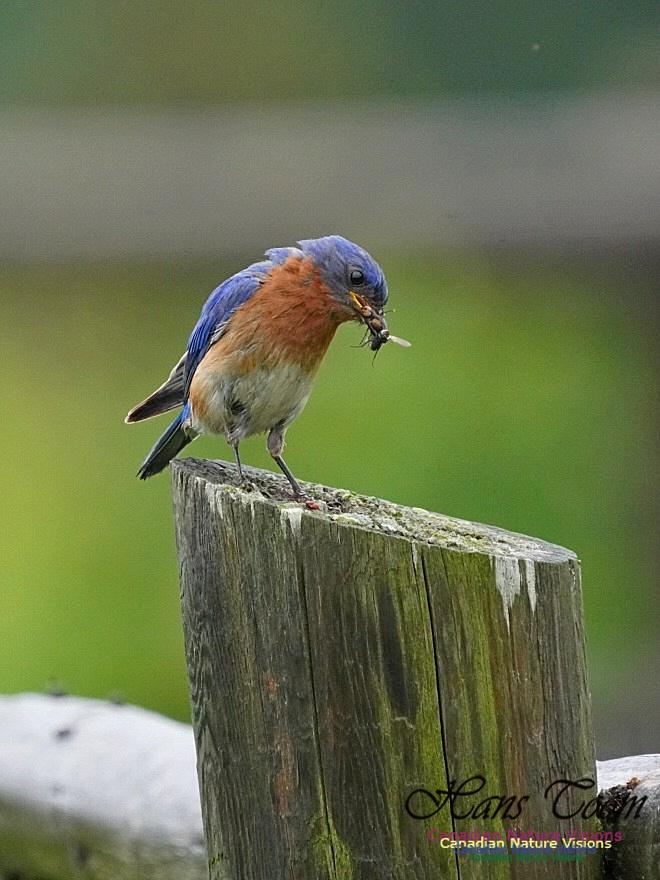 Eastern Bluebird 150