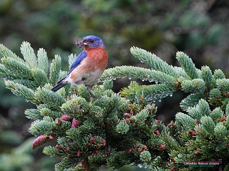 Eastern Bluebird 151