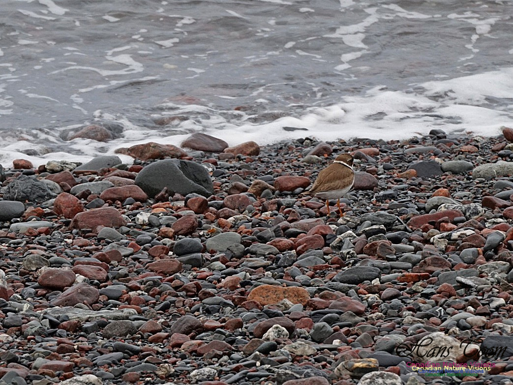 Semipalmated Plover 150