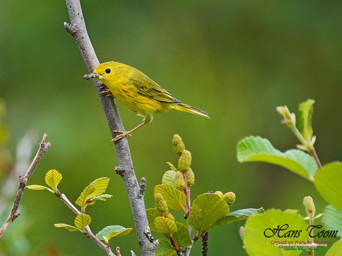 Yellow Warbler 150