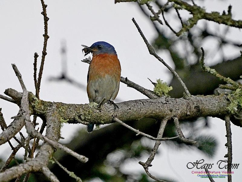 Eastern Bluebird 161