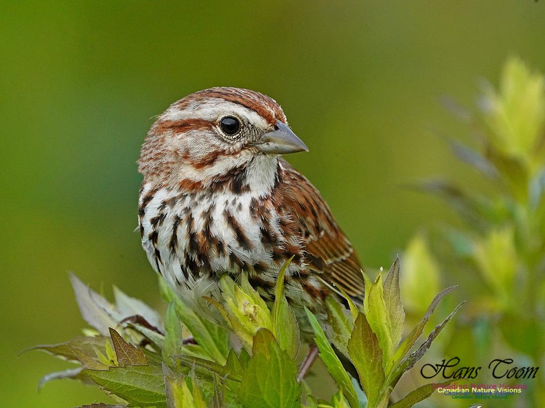 Song Sparrow 160