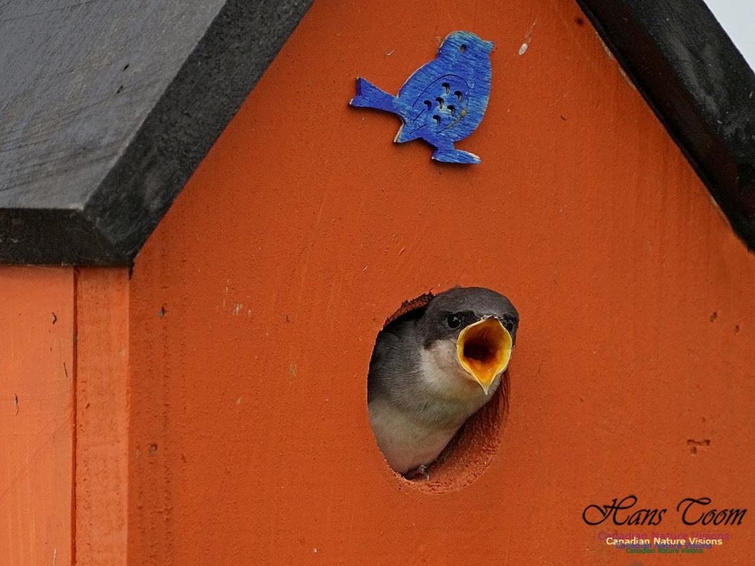 Tree Swallow 161