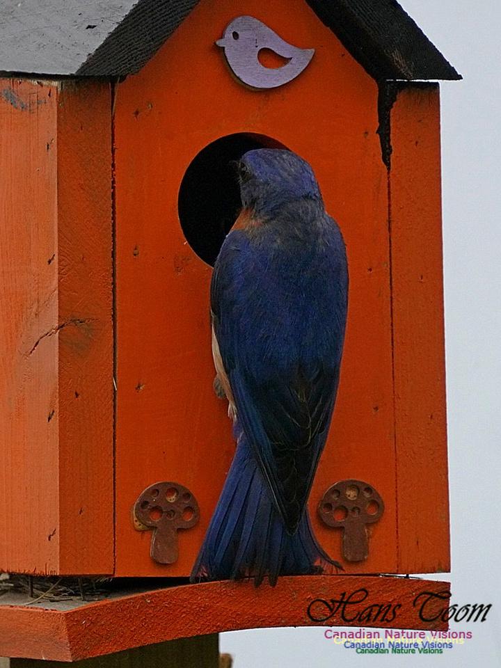 Eastern Bluebird 174