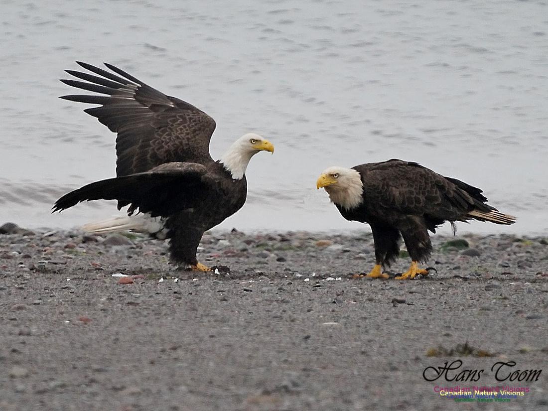 Bald Eagle 170