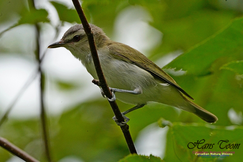 Red-eyed Vireo 171