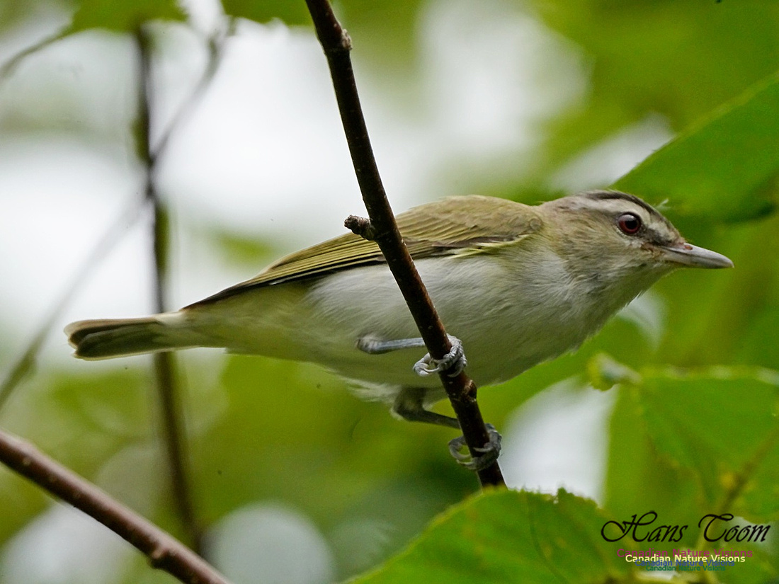 Red-eyed Vireo 170