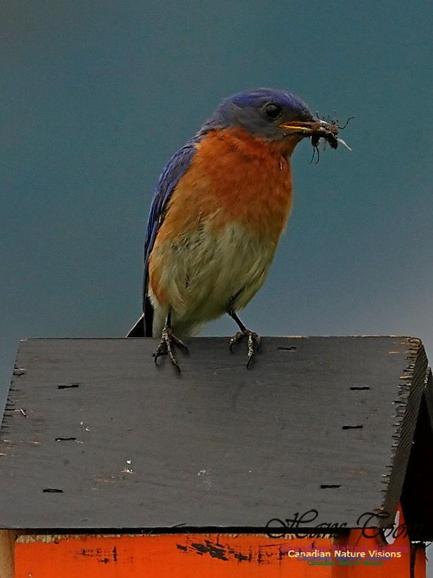 Eastern Bluebird 180
