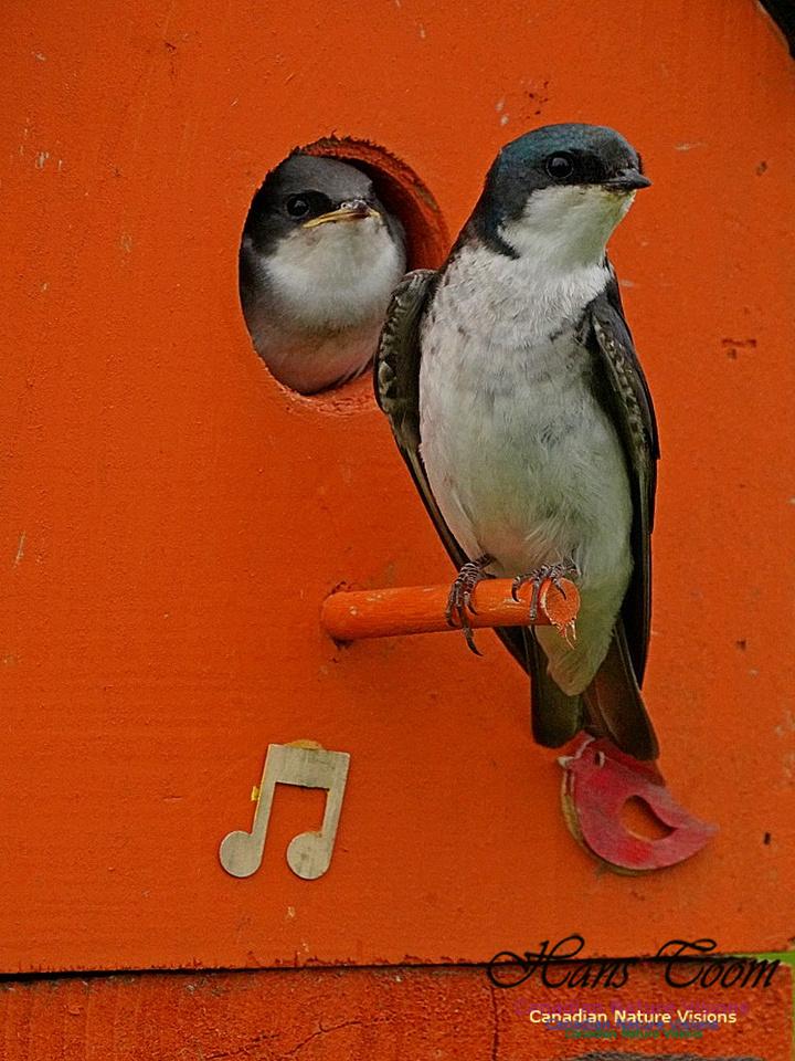 Tree Swallow 184