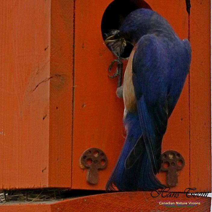 Eastern Bluebird 185