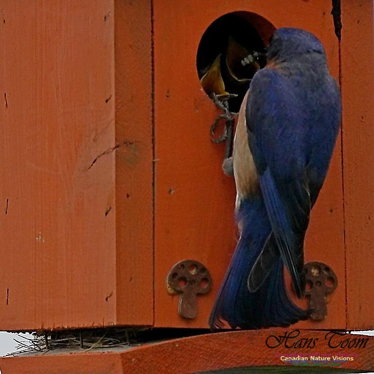 Eastern Bluebird 184