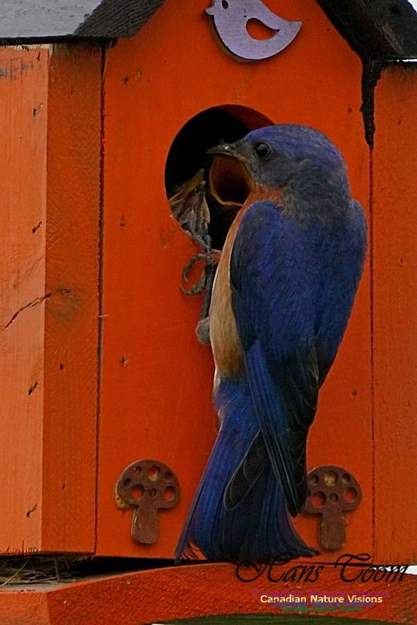 Eastern Bluebird 186