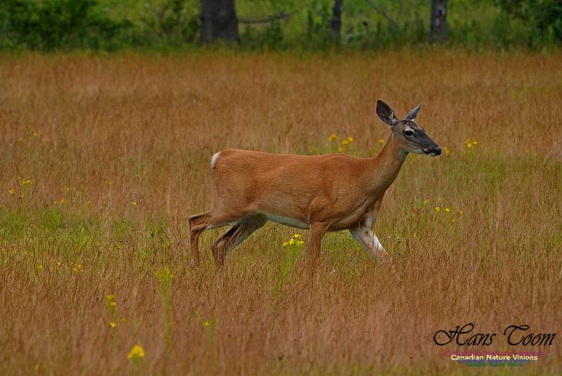 White-tailed Deer 181
