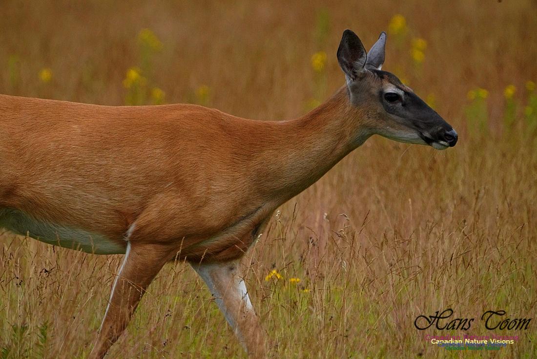 White-tailed Deer 180