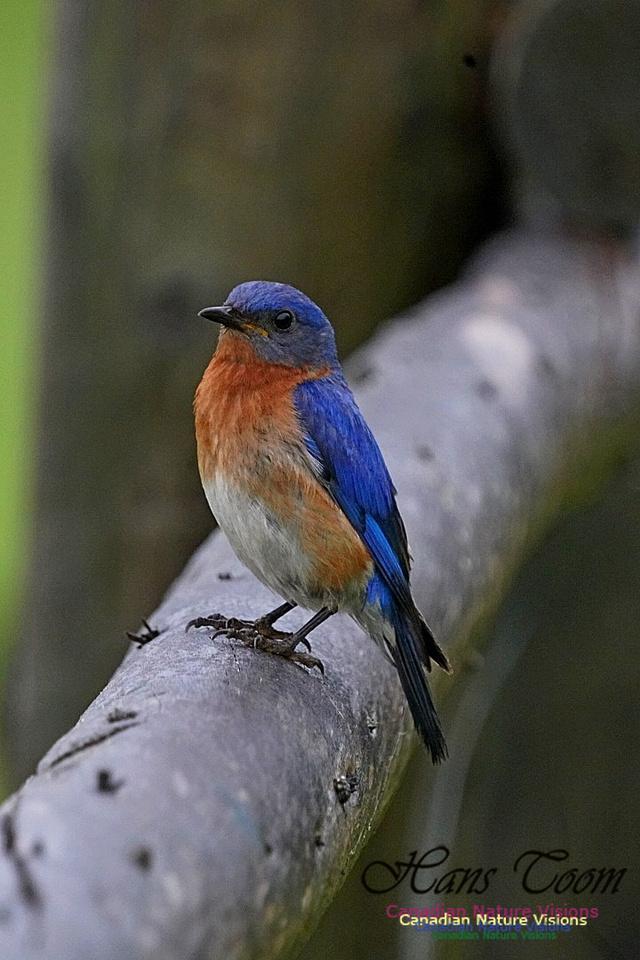 Eastern Bluebird 190