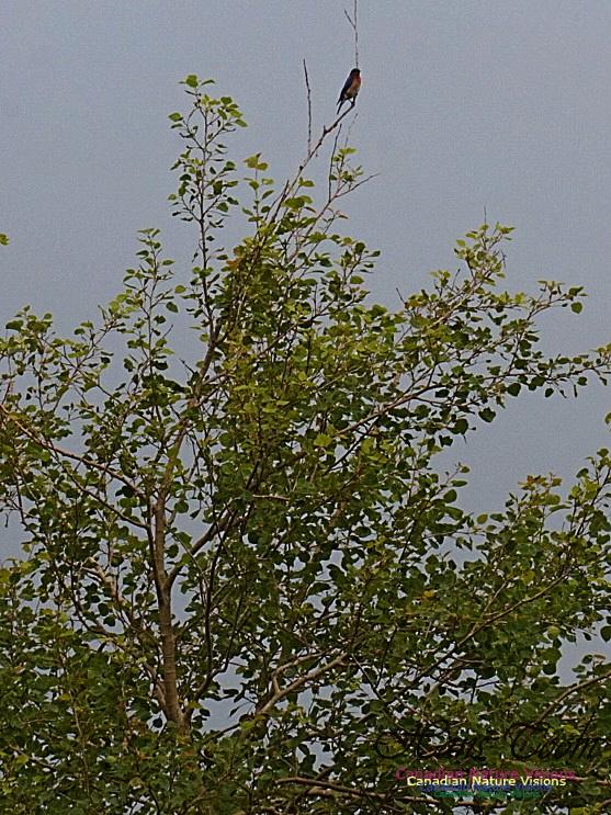 Eastern Bluebird 193