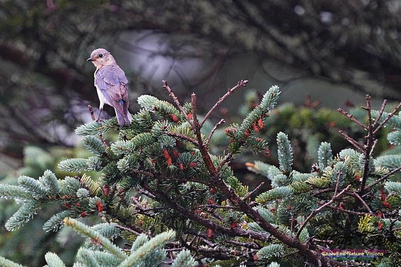 Eastern Bluebird 192