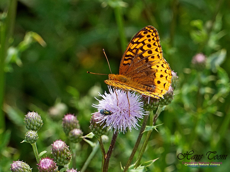 Fritillary and Canada Thistle 190