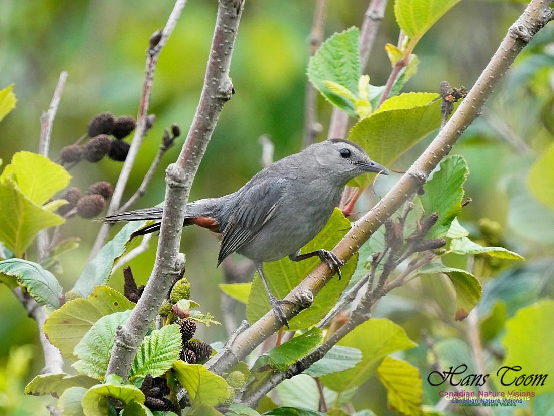 Gray Catbird 190