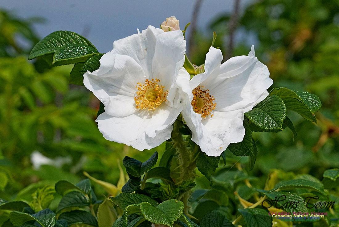 White Rose 190