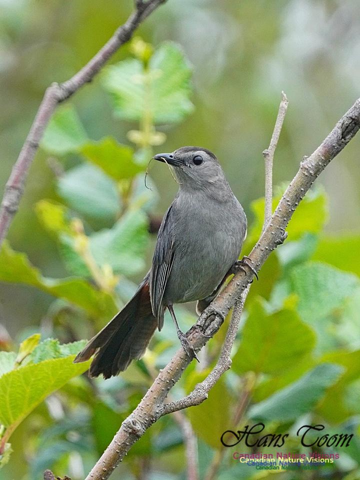 Gray Catbird 191