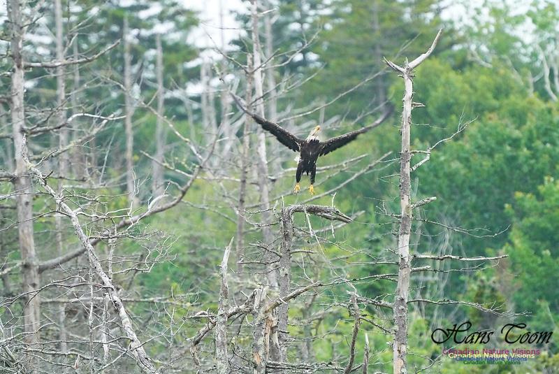 Bald Eagle 210