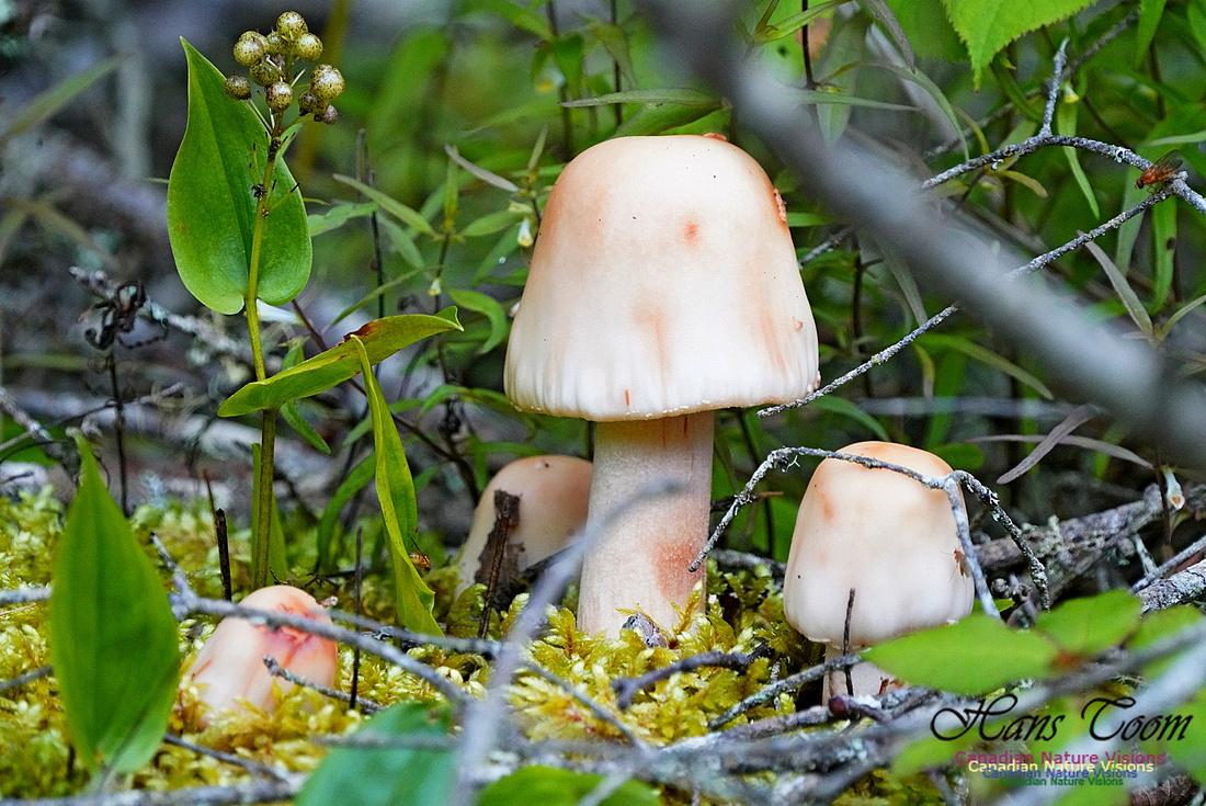 Mushroom 211