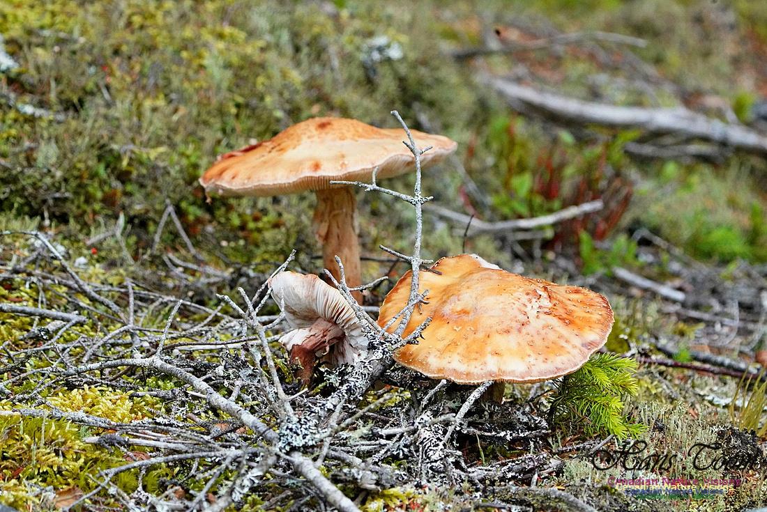 Mushroom 210