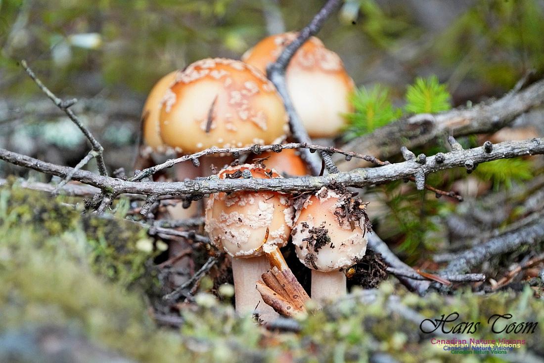 Mushroom 213
